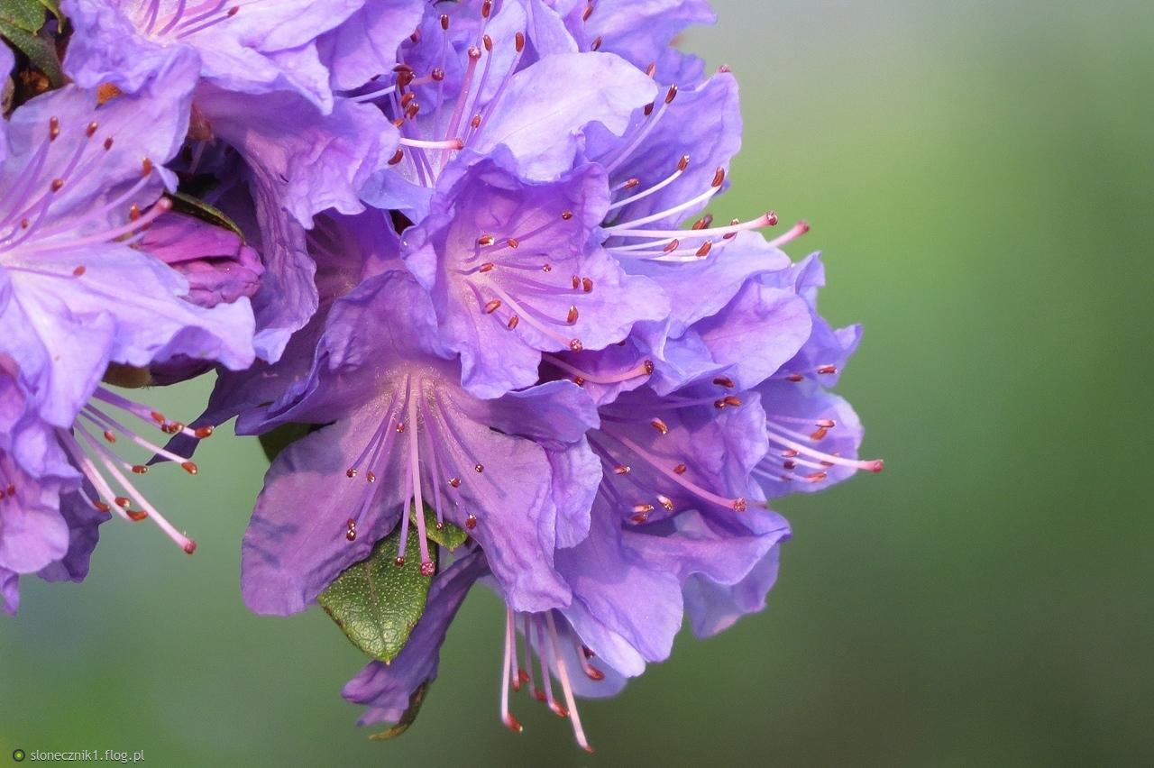 Ogrodowo, rododendronowo