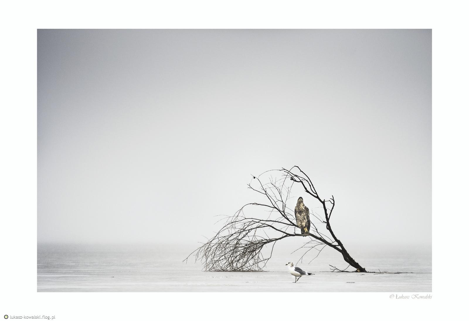 Haliaeetus albicilla #4 / 2017