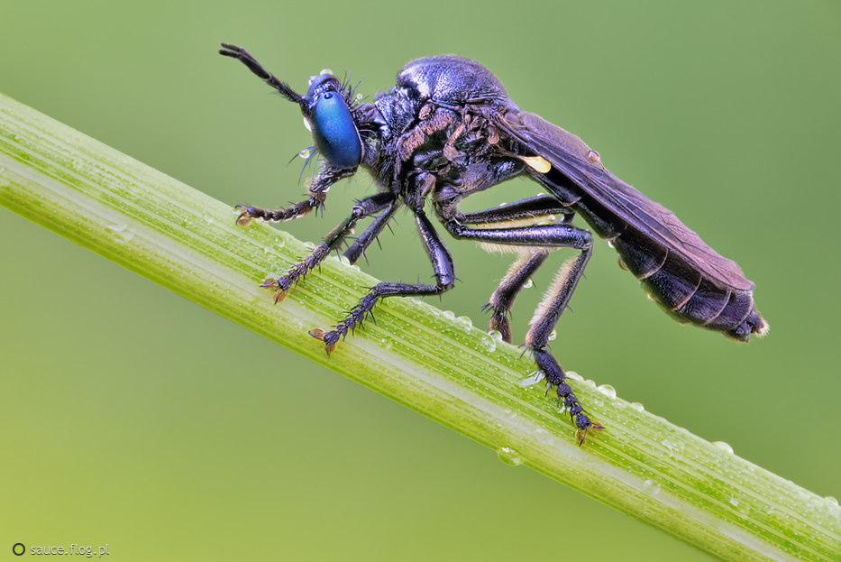 Pędźka (Dioctria sp.)