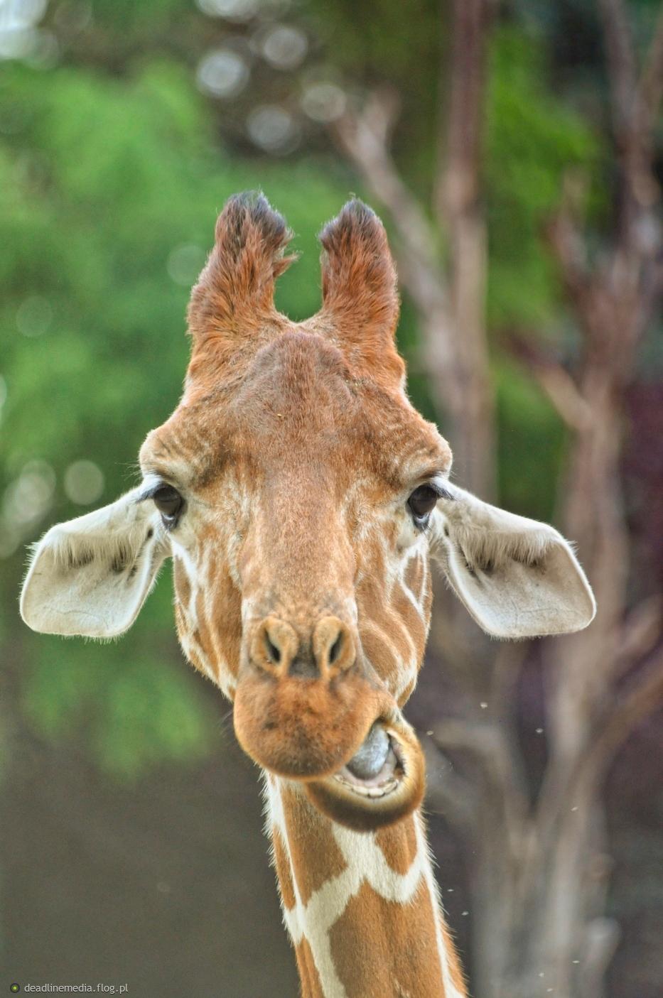 Portret Żyrafy