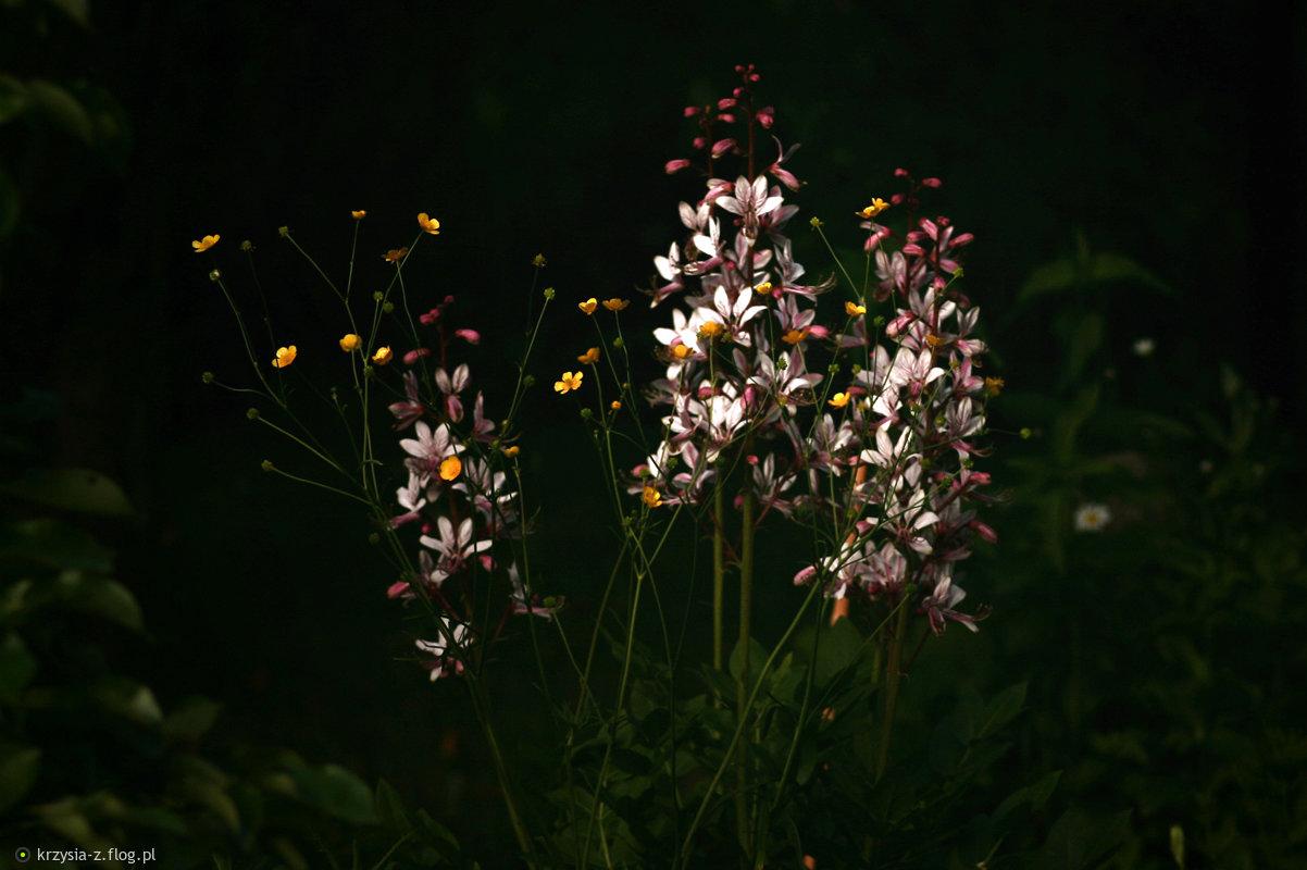 Dyptam jesionolistny (Dictamnus albus L.)