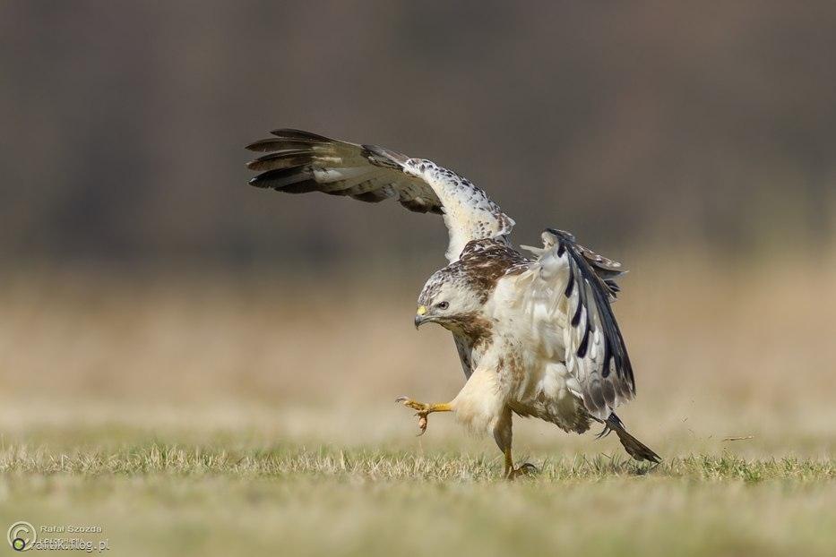 Największy zakapior na dzielni - Myszołów, Common Buzzard (Buteo buteo) ... 2017r