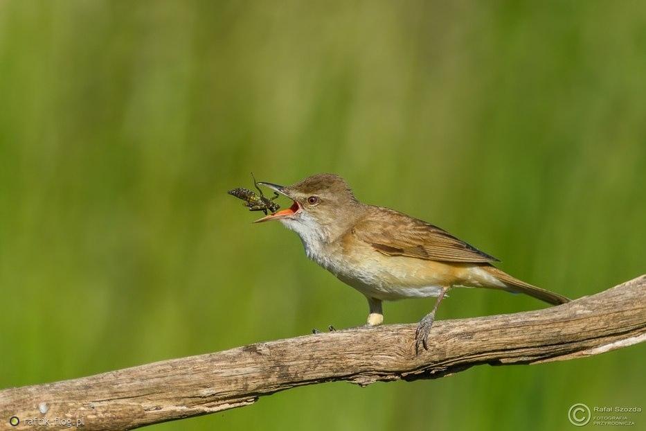 Trzciniak, Great Reed-Warbler (Acrocephalus arundinaceus) ... 2017r