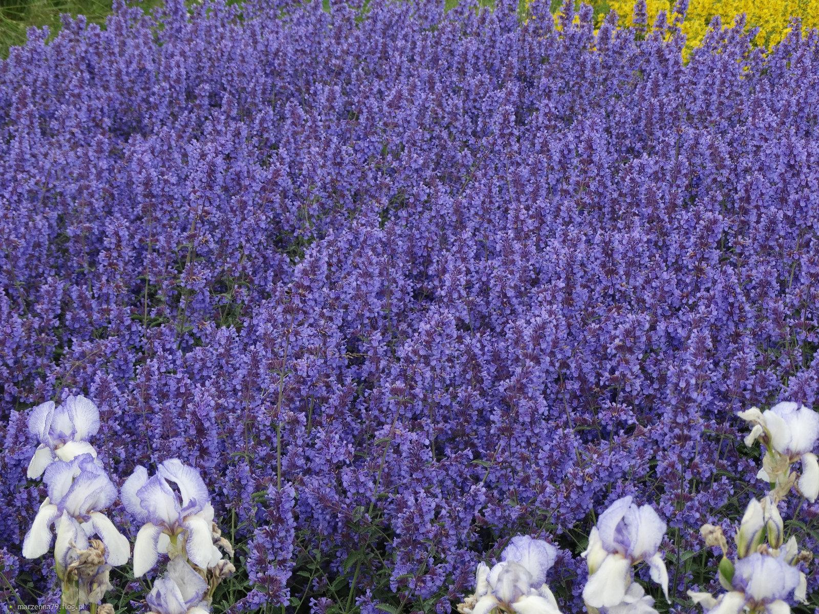 Kwiatki z gdyńskiej rabatki dla Ciebie Basieńko w rewanżu. ✿❀✿❀✿
