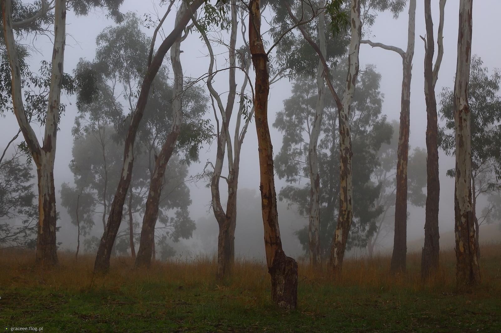 Eukaliptusy mgłą otulone