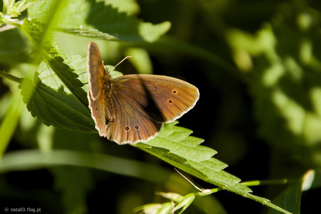 Przestrojnik trawnik - tym razem rozłożył skrzydełka :)