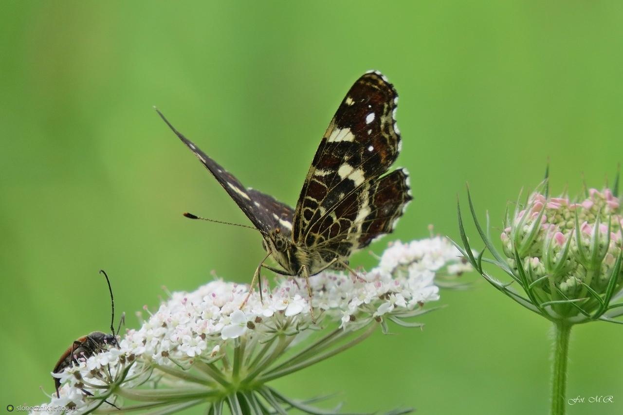 Lato ... łąka ... i motyle