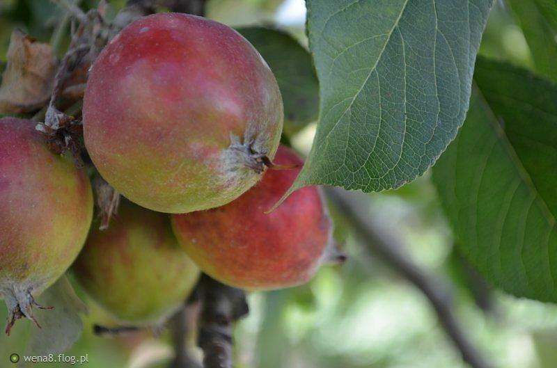 Tegoroczne lato ma smak polskich jabłek