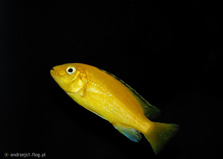 """Labidochromis caeruleus """"yellow"""" .Samica."""