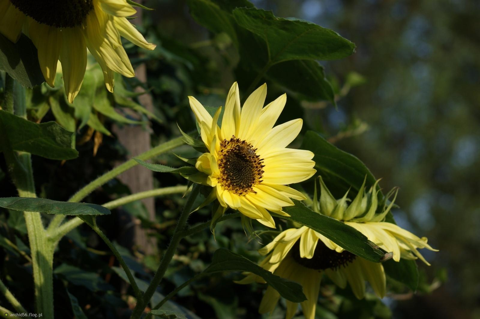 słoneczniki zawsze na czasie :)