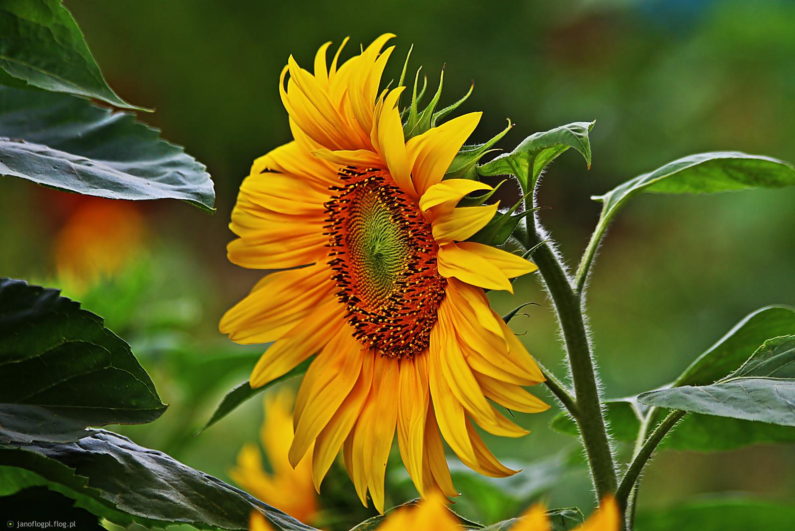 Słonecznikowe słoneczko dla Ciebie w rewanżu Beatko