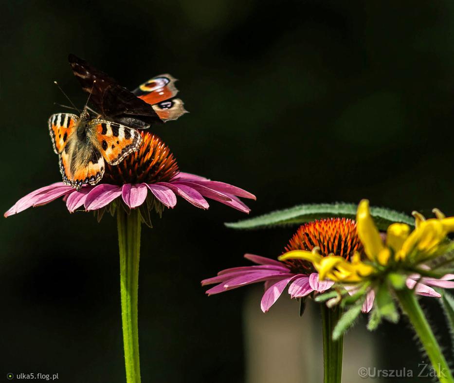 Motylowe przepychanki na jeżówkach :))