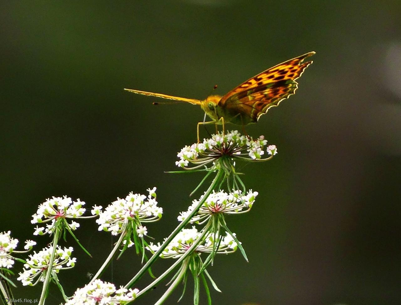 Moja sesja z motylkami.
