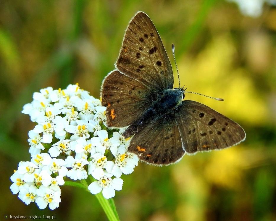 czerwończyk uroczy - bo lubisz motylki