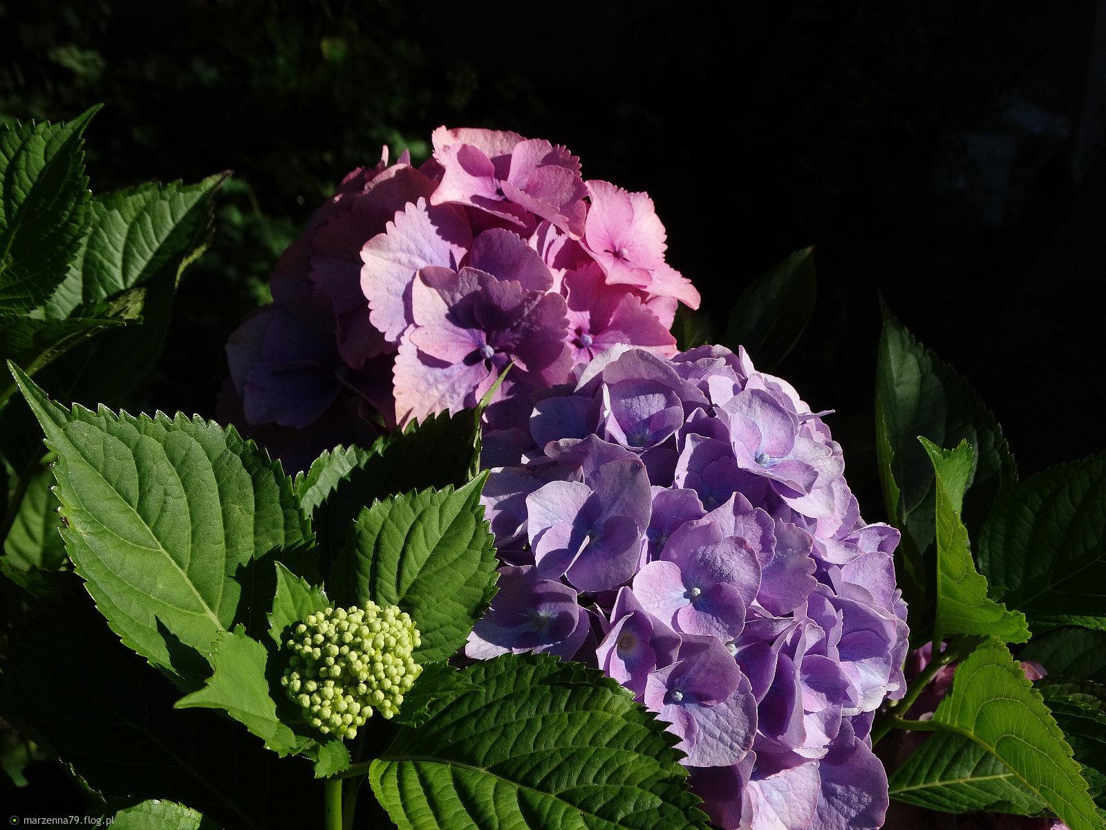 Hortensje z mojego ogródka dla Ciebie Krzysiu w rewanżu za wspaniałą dedykację ⊰✿⊱