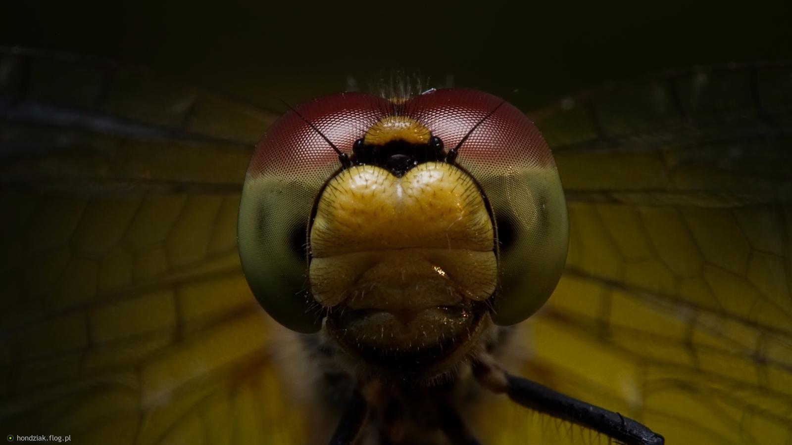 Oko w oko z szablakiem zwyczajnym