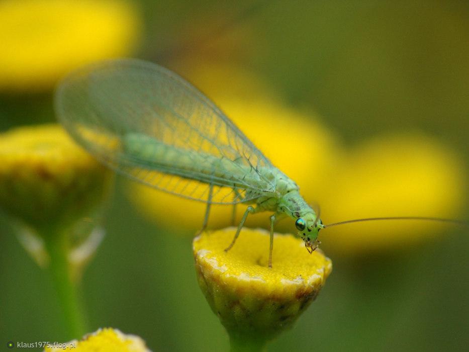Złotook – powszechnie przyjęta nazwa owada z rodziny złotookowatych (Chrysopidae).