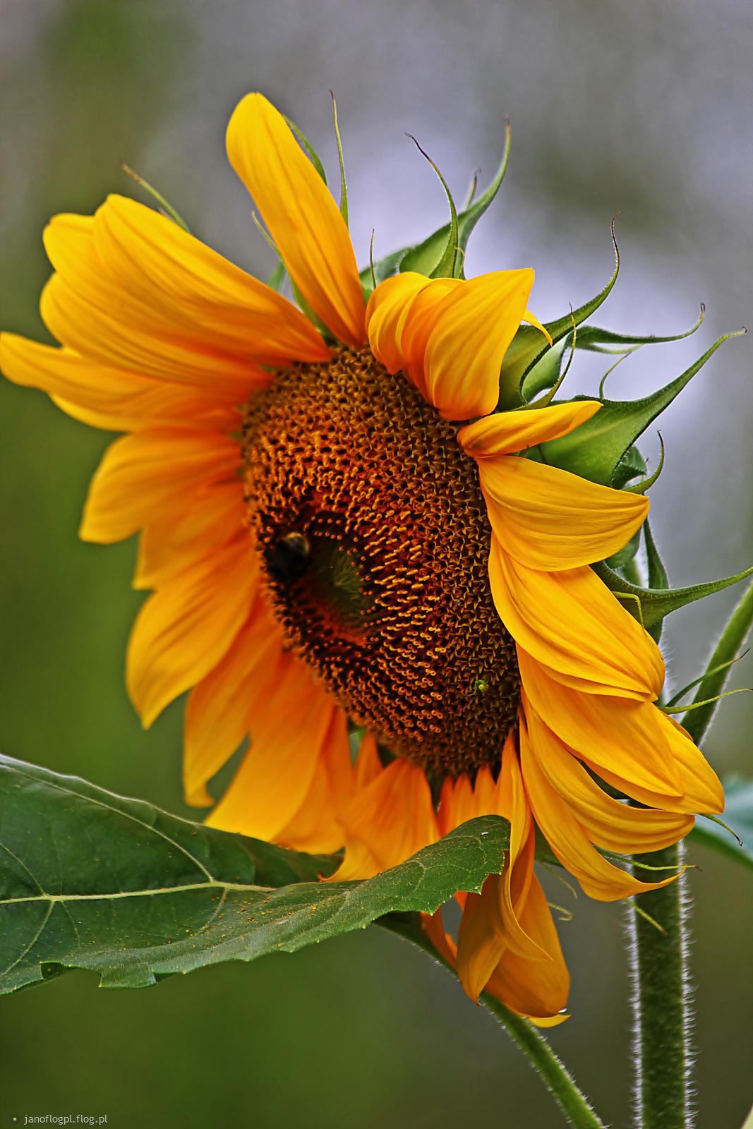 Słonecznikowe słoneczko dla Was na powitanie