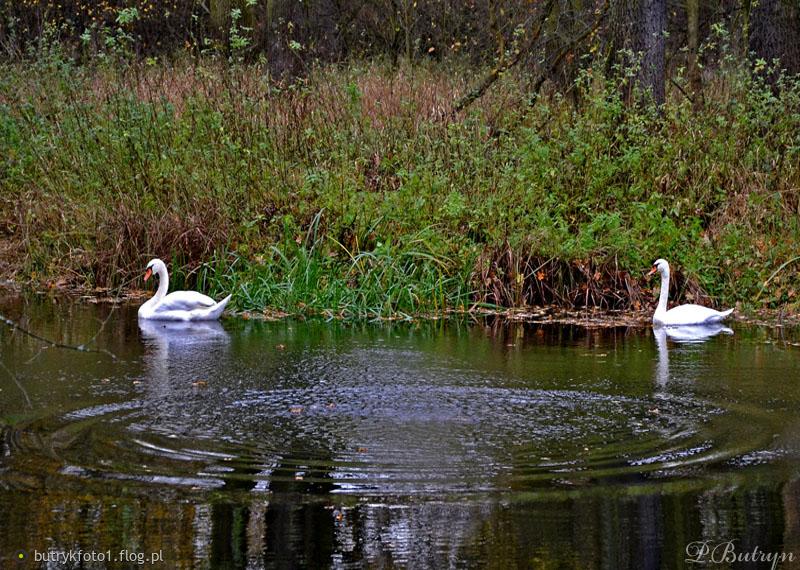 W ślicznym stawie gdzieś w Oławie dwa łabędzie sobie płyną ........