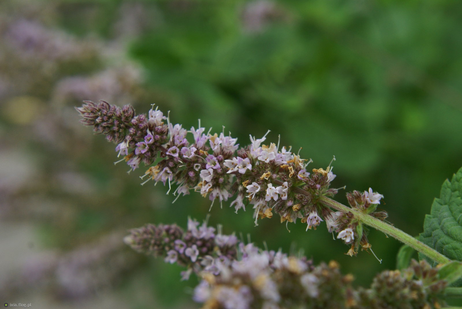 Zagadka :) Jakiej rośliny widzicie kwiatka ? :)