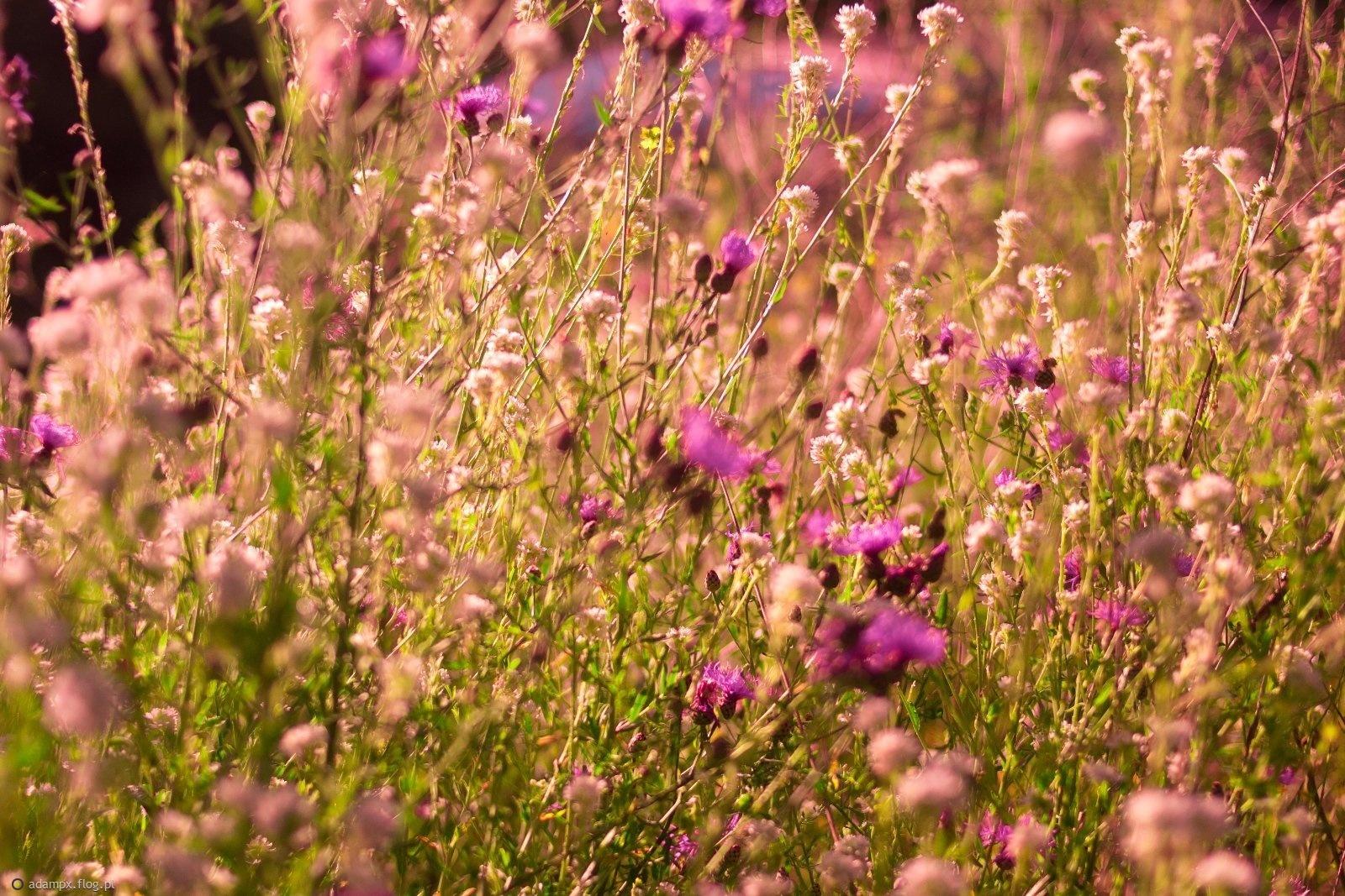 Dzikie kwiaty.