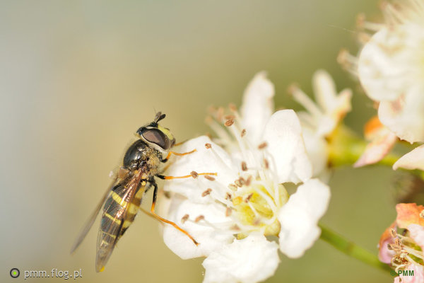 http://s23.flog.pl/media/foto_middle/11951560_bzygowaty-syrphidae.jpg