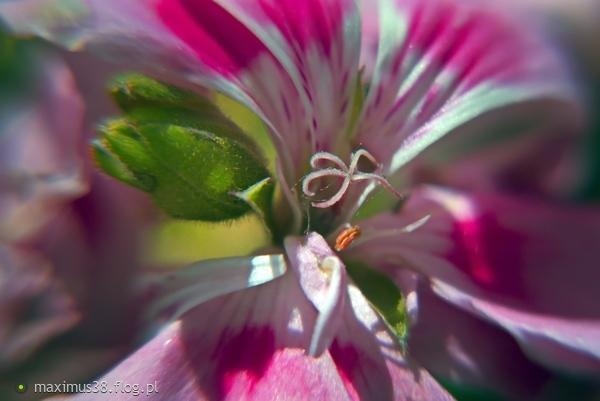 http://s23.flog.pl/media/foto_middle/12008012_pelargonia-balkonowa-z-niewielkiej-odleglosci-tak-sie-prezentuje.jpg