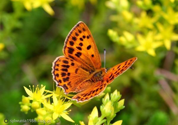 http://s23.flog.pl/media/foto_middle/12033656_zabawa-czerwonczyka-w-kwiatach-.jpg