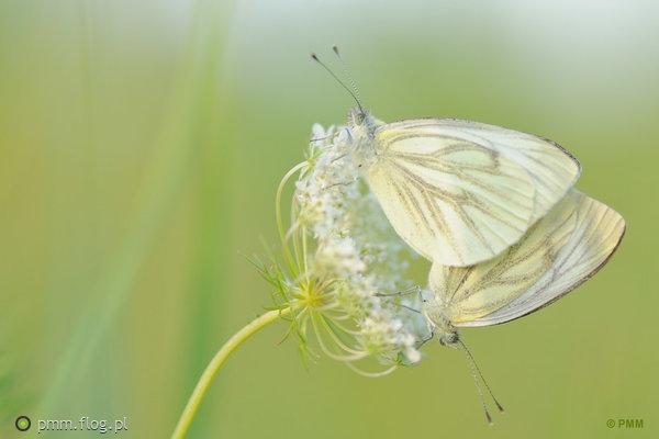 http://s23.flog.pl/media/foto_middle/12060474_biale-motyle--niestrzep-glogowiec-aporia-crataegi.jpg