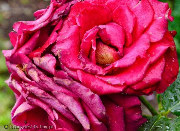 http://s23.flog.pl/media/foto_middle/12064012_roza.jpg