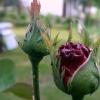 Moje kwiaty dla Was w pod<br />ziękowaniu za komentarze <br />i plusy.