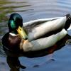 Kaczka w Pszczynie :: Kaczka pływająca po stawi<br />e w parku zamkowym w Pszc<br />zynie.