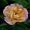 Królowa w kropelkach po k<br />rótkim deszczyku... :: Od razu nabrała piękna i <br />blasku.