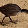 Pisklak łyski (Fulica atr<br />a). :: Proszę zwrócić uwagę na n<br />ogi podobne do nóg dinoza<br />ura...