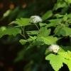...takie tam kwiatki... p<br />ęcherznicy kalinolistnej.<br />..