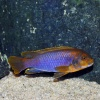 Iodotropheus sprengerae.<br /> Samiec.