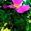 Czy róża pachniała by tak<br /> samo wspaniale, gdyby si<br />ę nazywała ostem lub kapu<br />stą?
