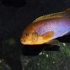 Iodotropheus sprengerae. <br />Samiec.