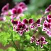 ...takie tam kwiatki... g<br />eranium, czyli pelargonia<br /> szorstka...