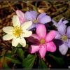 Pierwsze wiosenne kwiaty <br />naszych lasów