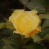 Z mojego ogrodu moja pier<br />wsza różyczka dla Was moi<br /> ulubieni i moi goście :)