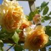 z mojego własnego rosariu<br />m :))))).....  jedna z 22<br /> odmian :)
