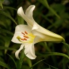 Biała lilia.