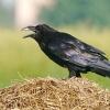 Kruk (Corvus corax) ::