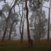 Eukaliptusy mgłą otulone ::