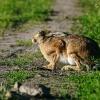 Zając ( Lepus europaeus )
