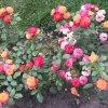 Kolorowe roże