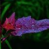 ...purpurowy deszcz inacz<br />ej...
