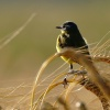 Pliszka żółta (Motacilla flava) ::