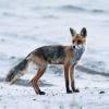 Sarniątko i lisica....